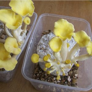 Golden Oysters on a MycoBox